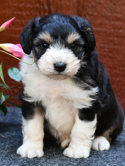 Mini Aussiedoodles and Mini Bordoodles by Doodle Run Kennels